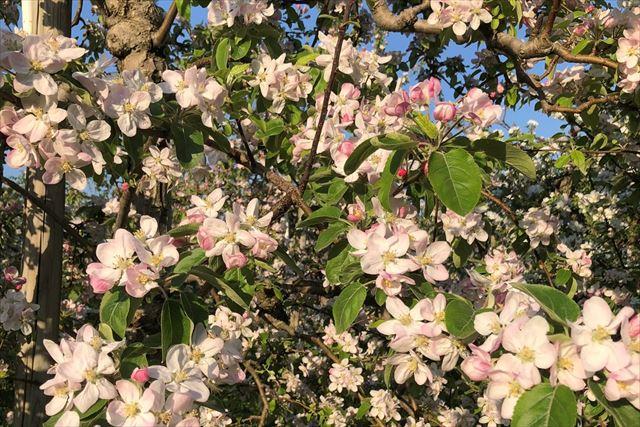 wanisun りんごの花_R
